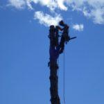 Le haut du tronc est haubané pour être dirigée dans sa chute