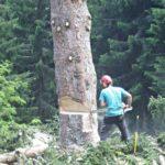Préparation de l'abattage du tronc : une entaille directionnelle va déterminer le sens de la chute.