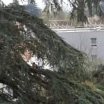 Taille d'éclaircie d'un deuxième cèdre bicentenaire, LA TRONCHE (38)