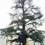 Taille d'éclaircie d'un cèdre bicentenaire, LA TRONCHE (38)