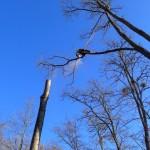 Démontage d'un gros acacia - Rogalle (09)