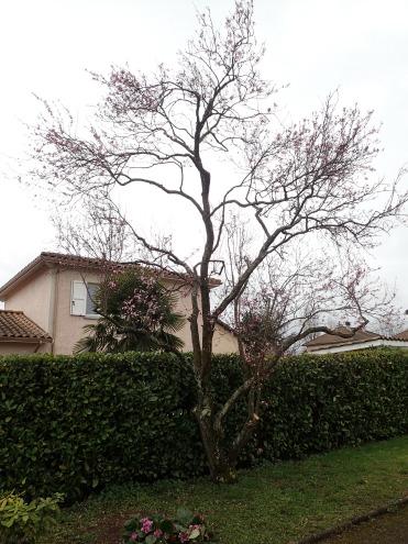 formation d 39 un m rier platane en parasol d 39 anton arbre. Black Bedroom Furniture Sets. Home Design Ideas