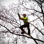 Taille d'éclaircie et allègement d'un acacia