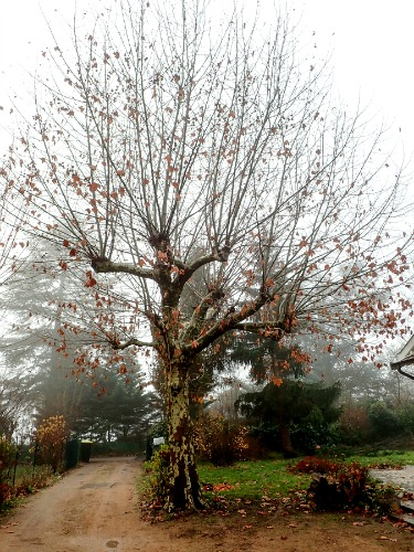 Elagage platane avant r duction t te de chat d for Prix de l elagage d un arbre